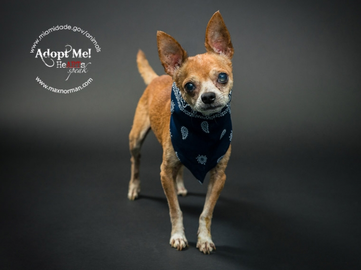 TOMY - ID#A1571429 I am a male, brown and black Chihuahua - Smooth Coated. The shelter staff think I am about 10 years old I have been at the shelter since Nov 09, 2013.
