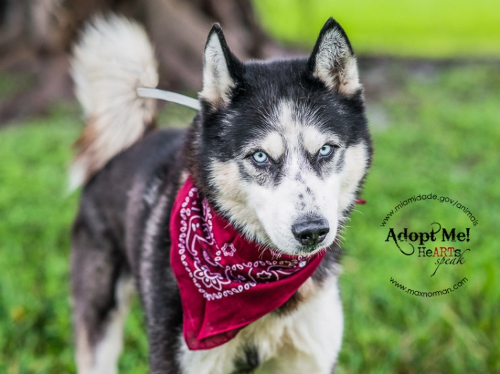 I am a male, black and white Siberian Husky. The shelter staff think I am about 2 years old I have been at the shelter since Jan 03, 2014.