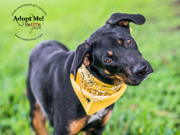 OREO - ID#A1585054 I am a female, tricolor Terrier mix. The shelter staff think I am about 2 years old I have been at the shelter since Jan 04, 2014. Since she is the 500th dog I have photographed since I began volunteering at MDAS, they are waiving her adoption fee to honor the milestone.