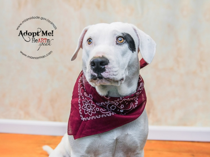 MISSY - ID#A1590775 I am Vanity's mom. I am a female, white American Bulldog. The shelter staff think I am about 1 year old I have been at the shelter since Jan 28, 2014.