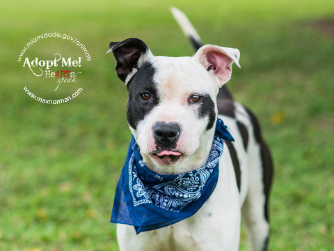 MIKE-ID#A1597121 I am a male, white and black American Bulldog. The shelter staff think I am about 2 years old I have been at the shelter since Feb 25, 2014.