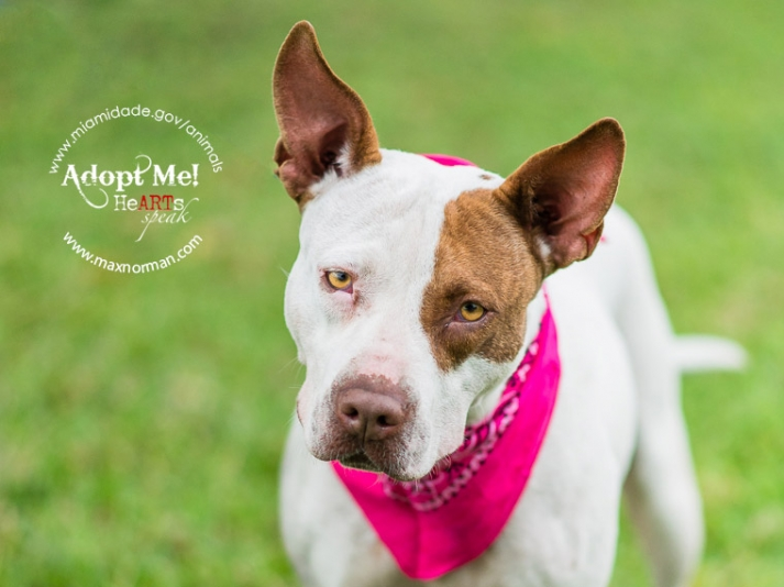 DAISY - ID#A1594952 I am a female, white and brown Terrier mix. The shelter staff think I am about 4 years old I have been at the shelter since Feb 13, 2014.