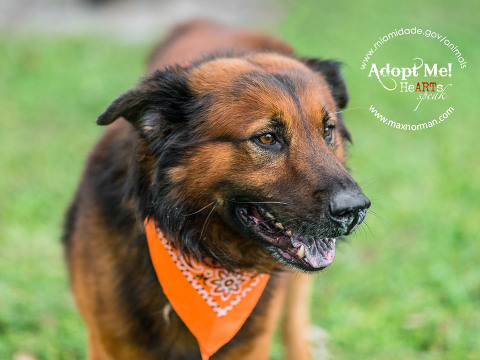 TRUCKIE-ID#A1596161 I am a male, brown Belgian Tervuren mix. The shelter staff think I am about 3 years old I have been at the shelter since Feb 20, 2014.