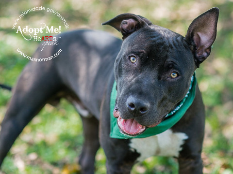 LEM - ID#A1602087 I am a male, black and white Pit Bull Terrier mix. The shelter staff think I am about 3 years old I have been at the shelter since Mar 19, 2014.