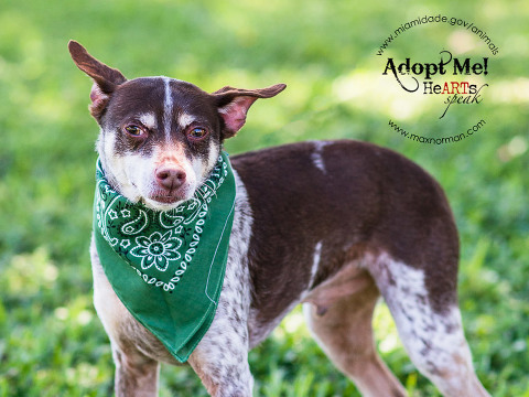 PANCHO - ID#A1518582 I am a male, brown and white Chihuahua - Smooth Coated mix. The shelter staff think I am about 8 years old. I have been at the shelter since Apr 21, 2014.