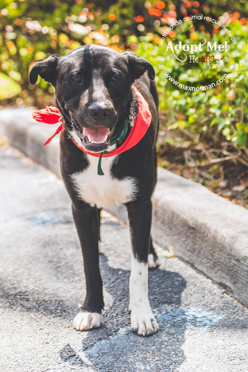 This is Onyx. He is a border collie mix, approximately one year old. Very energetic and playful. Extremely dog friendly. He'd do great in an active home or as a jogging buddy. Learning basic obedience. Please share and let's find Onyx a forever home. Located in Miami. interested you can contact Sfarninc@gmail.com