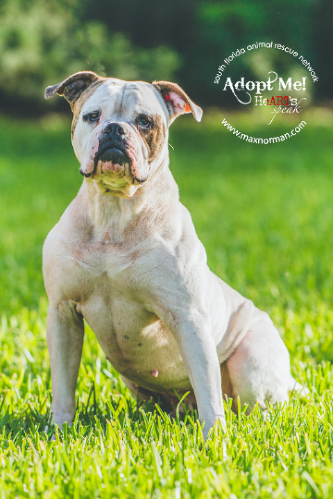 This is Morgan. He's approximately 5 years old. American bulldog mix. Obedience trained. Very playful. Good with kids. A bit dominant so better if only dog. Located in Miami. If interested in fostering or adopting, contact sfarninc@gmail.com.